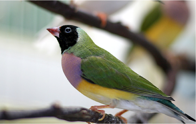 Female Gouldian finch
