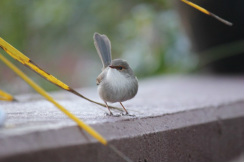 Female fairy-wren